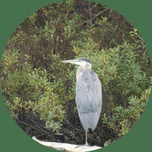 blue heron on the Platte River