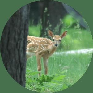 Riverside Deer